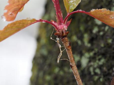 ナナフシ幼虫