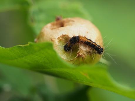 ドクガ幼虫2
