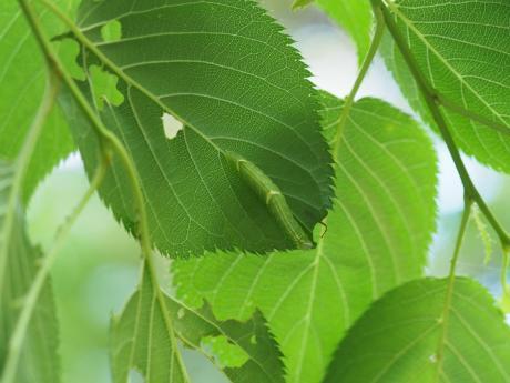カバイロモクメシャチホコ幼虫