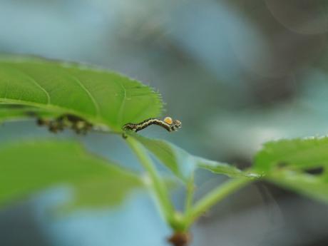 チャバネフユエダシャク幼虫&寄生幼虫