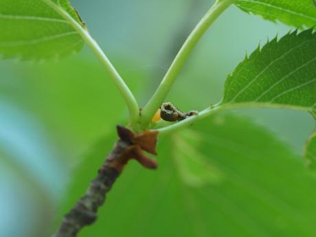 チャバネフユエダシャク幼虫&寄生幼虫2
