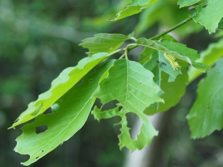ウスタビガ幼虫&ミズイロオナガシジミ幼虫
