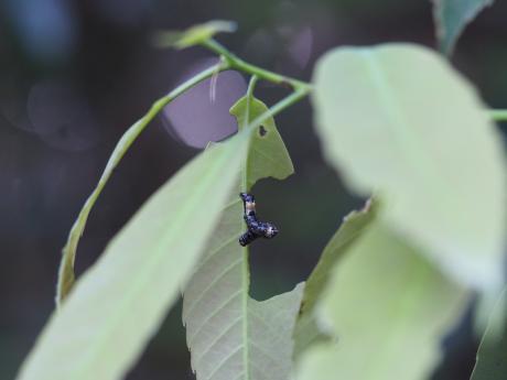 オカモトトゲエダシャク幼虫