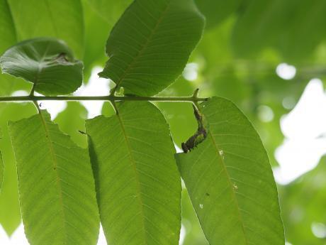 ムラサキシャチホコ幼虫5