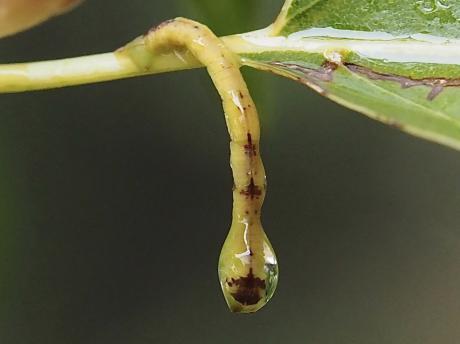 クスアオシャク幼虫5