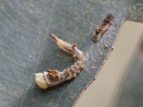 ウコンカギバ幼虫