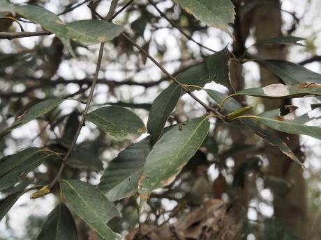 ウコンカギバ幼虫5