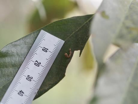 ウコンカギバ幼虫2