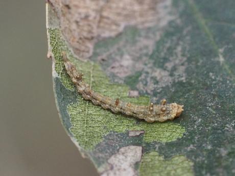 ウコンカギバ幼虫3