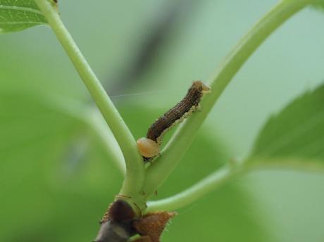 チャバネフユエダシャク幼虫&寄生幼虫4