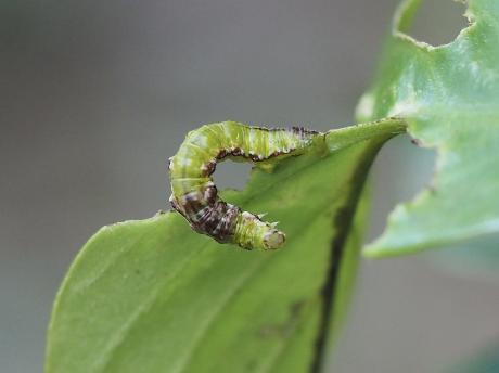 不明幼虫2