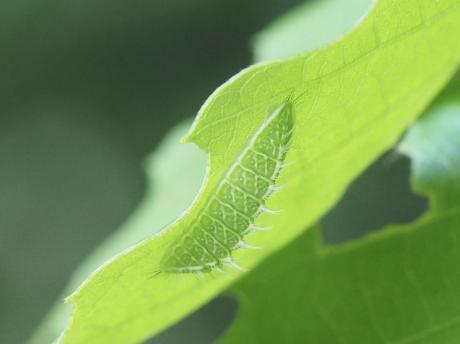 ミズイロオナガシジミ幼虫