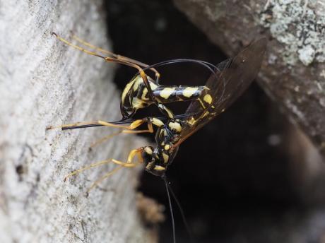 オナガバチの一種・産卵