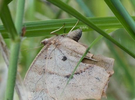 クロコノマチョウ産卵2
