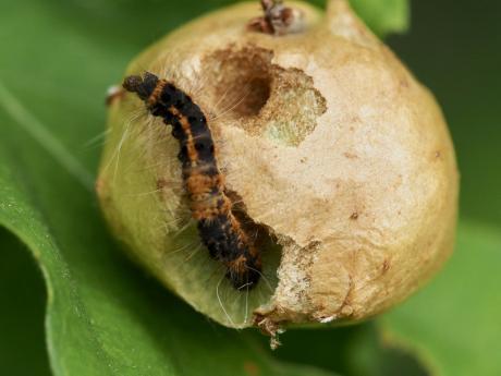 ドクガ幼虫