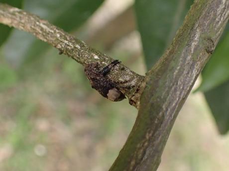 アトジロサビカミキリ