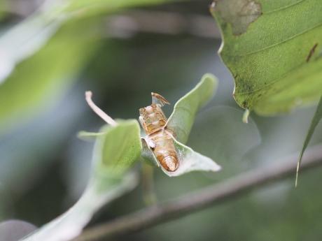 ウコンカギバ蛹殻
