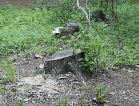 クロナガタマムシ産卵場所
