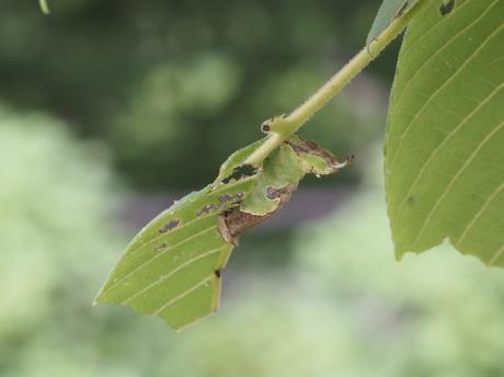 ムラサキシャチホコ幼虫4