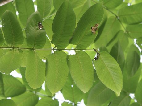 ムラサキシャチホコ幼虫6