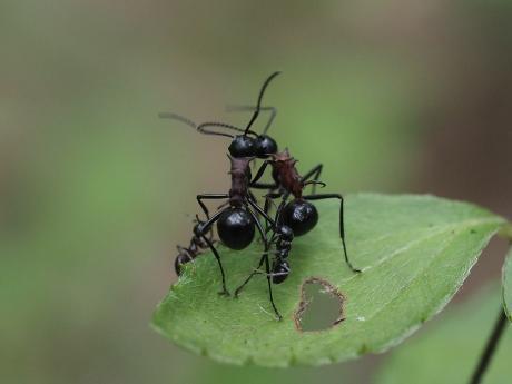 トゲアリ&アリ