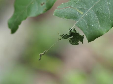コミスジ幼虫