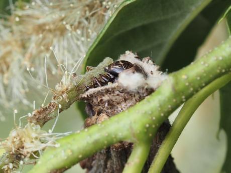 チャミノガ幼虫か