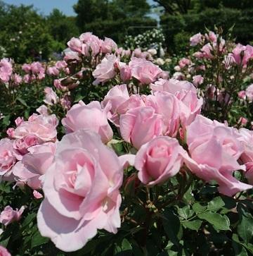 桜貝 (2)1996