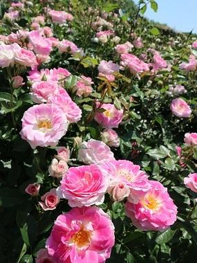 春の舞by京成バラ園1994