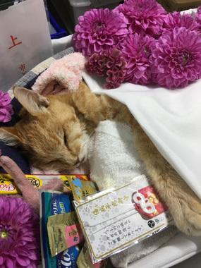 看板猫 ミルク 豊川 花屋 花夢