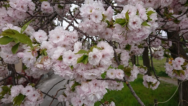八重桜 6