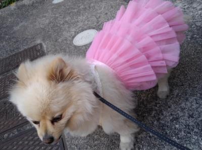 お姫様5号 ポメラニアン 犬