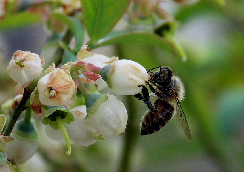 ミツバチ2