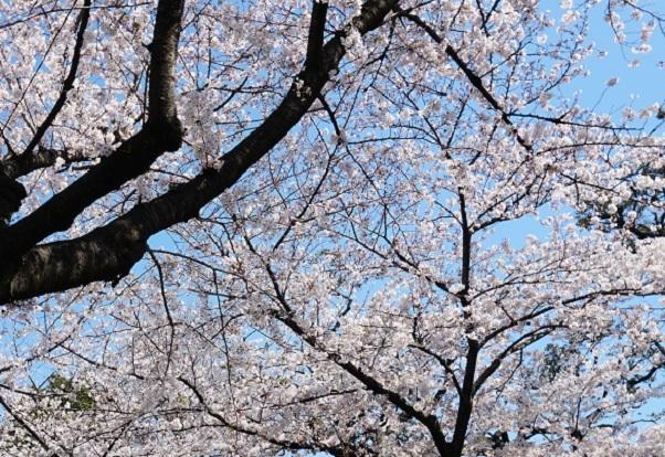 5A19 谷中の桜  0404