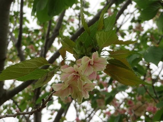 6J07 ウコン桜黄桜 0423