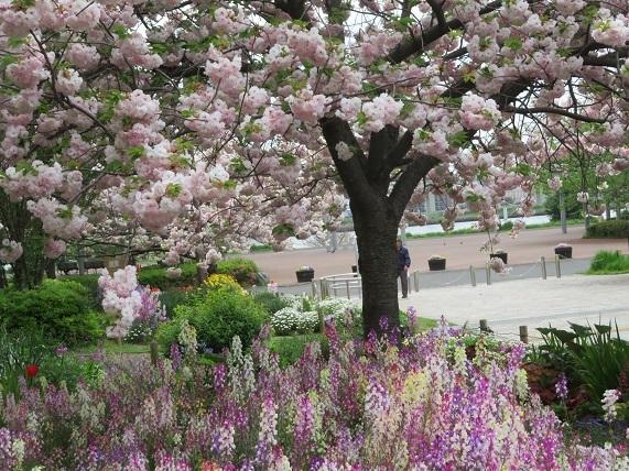 1J01 八重桜と花壇 0423