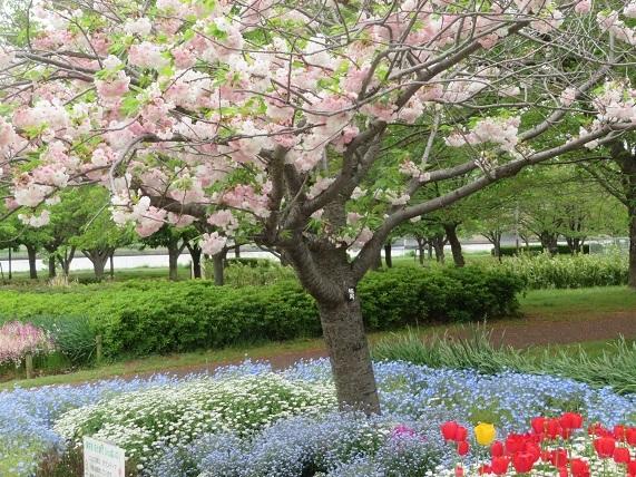 2J05 八重桜と花壇 0423