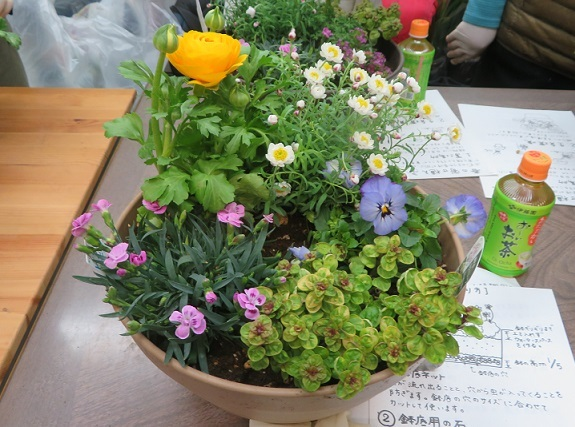 2A12 ピンクキッス オレガノ 花かんざし ラナンキュラス ビオラ 0227