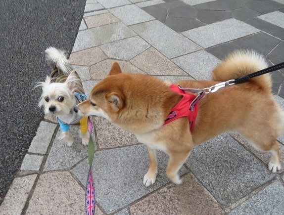 2A03 コロンちゃん 柴犬2才 0514