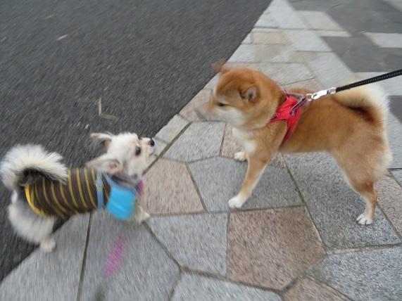 3A04 コロンちゃん 柴犬2才 0514