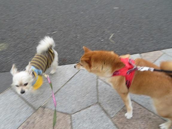 4A05 コロンちゃん 柴犬2才 0514