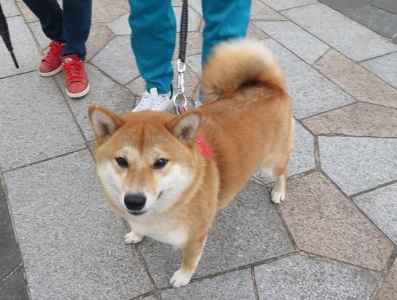 5A02 コロンちゃん 柴犬2才 0514