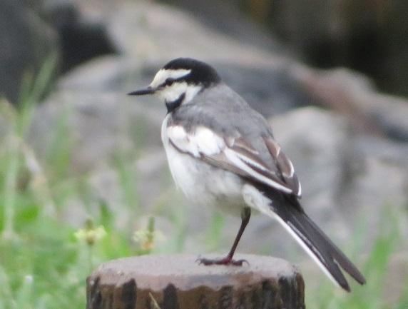 1A01 野鳥 0605