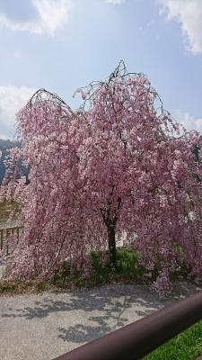 美山枝垂れ桜