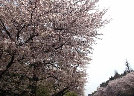 2019.4.8国立の桜1