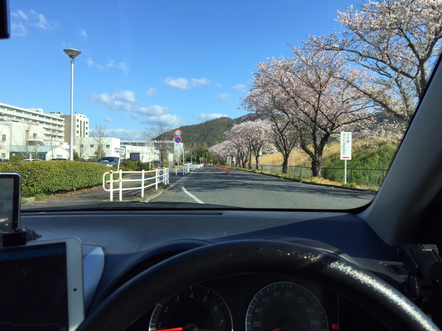 岐阜大学 桜