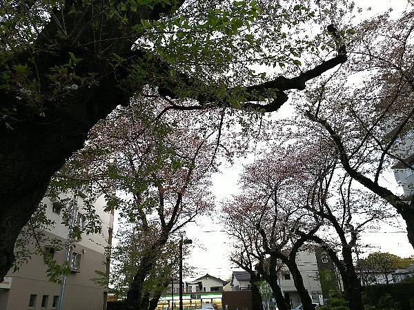 桜は散って