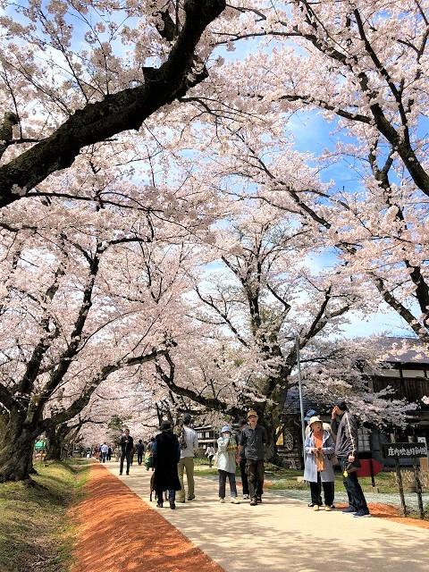 庄内オーガニックマルシェ 松ヶ丘 桜まつり3
