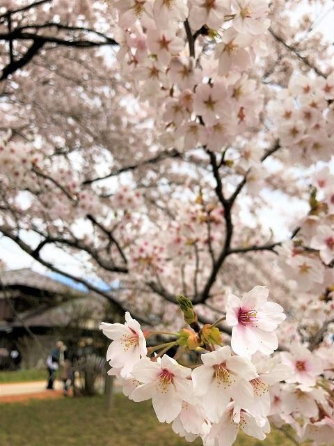 庄内オーガニックマルシェ 松ヶ丘 桜まつり5