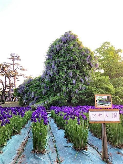 鶴岡公園 2019滝藤1